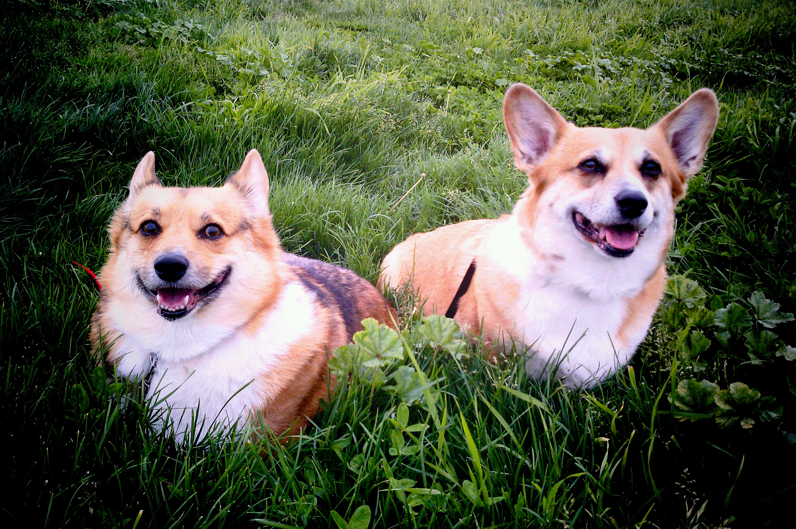 Wallace and Sadie, my Pembroke Welsh Corgis